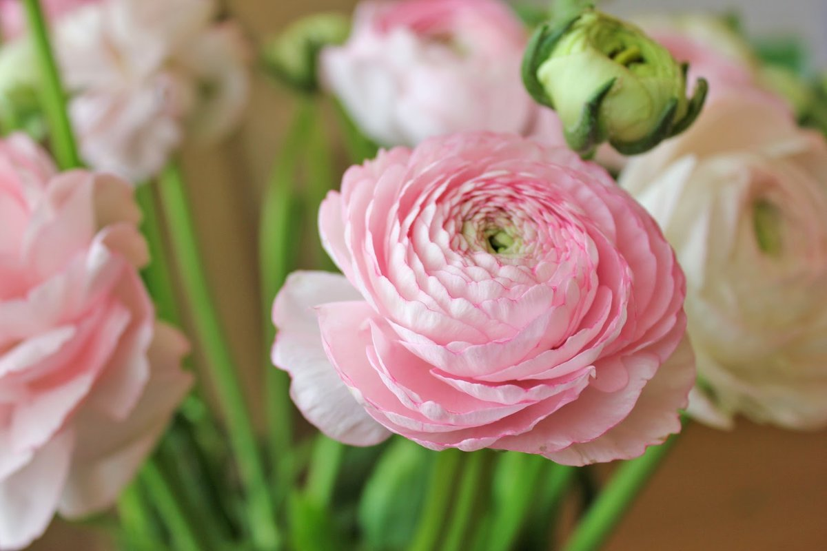 как картинки цветы ранункулюсы бабы аппетитными формами